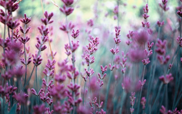 lavender-wallpaper-3